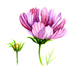 Watercolor Cosmos flowers