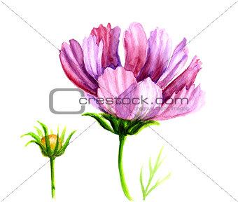 Watercolor Cosmos flowers