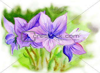 Watercolor painting Campanula, flowers