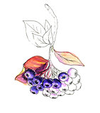 Watercolor realistic painting. Aronia berries. Chokeberry