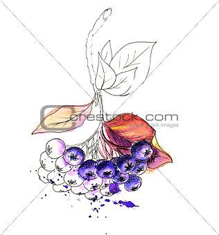 Watercolor realistic painting. Aronia berries. Chokeberry