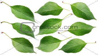 Green apple leaves on white