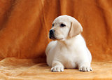 nice yellow labrador puppy on orange background