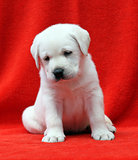 labrador puppy on a red background