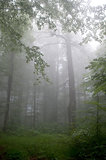 fog in summer forest