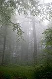 fog in summer forest