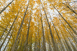 Poplar Tree Grove Canopy in Fall