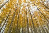 Poplar Tree Grove Canopy in Fall