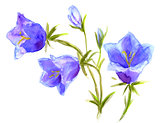 bellflowers, watercolor Campanula