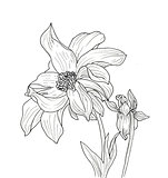 Line ink drawing of dahlia flower