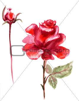 Beautiful Rose flower