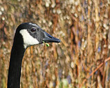 Profile of the Canada Goose with its distinctive long neck and black and white markings holding grass in its beak