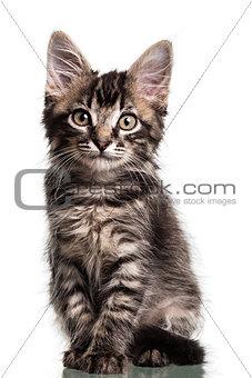 Cute Furry Kitten