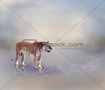 Tiger Near Water