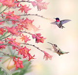 Hummingbirds and Red Flowers