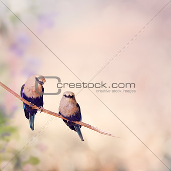 Blue Bellied Roller Birds