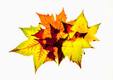 Closeup of Autumn Leaf - Isolated on White