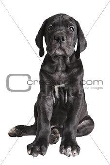 One black German mastiff  puppy on white background