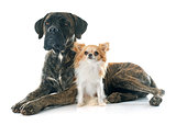 italian mastiff and chihuahua