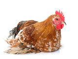 rooster bantam