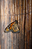 Monarch butterfly over wicker background