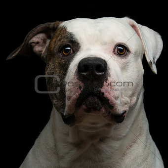 American bulldog over black background