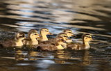 raft of ducklings