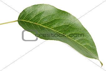 Green pear leaf on white