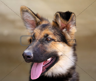 Beautiful puppy dog Shepherd