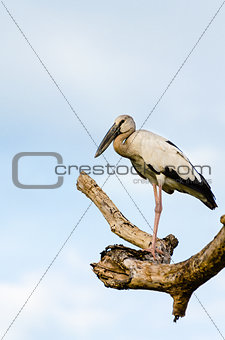 Asian Openbill (Anastomus oscitans) White bird standing alone