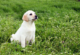 yellow puppy labrador in summer