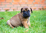 Bullmastiff puppy on a lawn