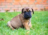 Bullmastiff puppy on a lawn