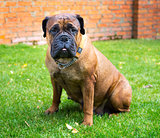 Bullmastiff sitting on a grass