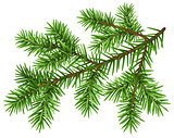 Pine tree branch. Green fluffy pine branch