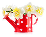 Spring flowers narcissus in red watering can