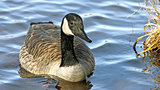 The Canada Goose swimming on blue rippling waters
