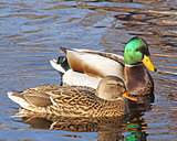 Breeding Pair of Mallard ducks - Mallard male looking at female