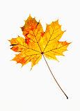 Closeup of Autumn Leaf - Isolated on White