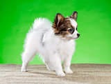Portrait little Papillon puppy