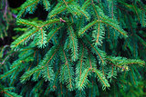 Fir-tree branch background