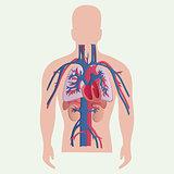 Medical human organs