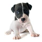 puppy jack russel terrier