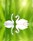Two swans on green background