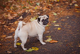 Pug outdoors