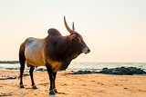 Bull with sharp horns on the beach near the sea