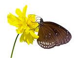 Black Kaiser butterfly ( Penthema binghami )