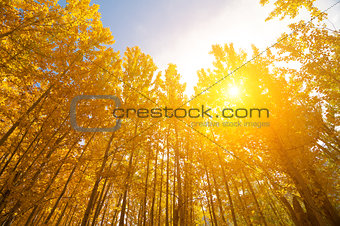 Aspen Trees in autumn seasons