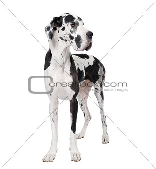Great Dane, 4 years old, standing in front of white background, studio shot