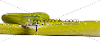 Portrait of green tree python, Morelia viridis, 5 years old, in front of white background, studio shot